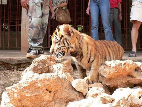 Первая маленькая тигрица попала в храм, когда её родителей убили браконьеры, а саму её купил местный богач из Бангкока, который заказал чучело. Местный набивщик животных пожалел тигрёнка, но, к сожалению, уже после того, как успел вколоть ей консерванты.